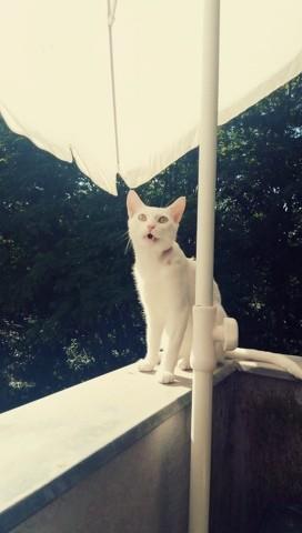 Roméo, chat Siamois