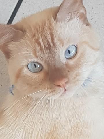 Karma, chat Siamois