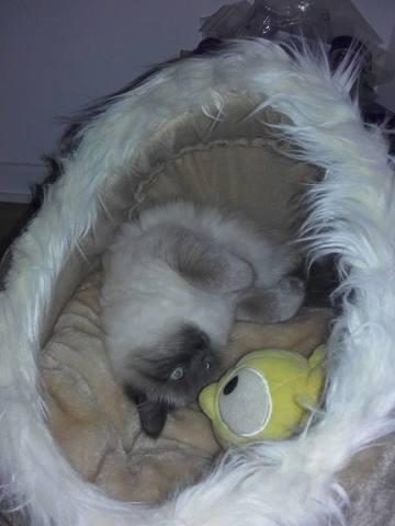 Lilas, chat Sibérien