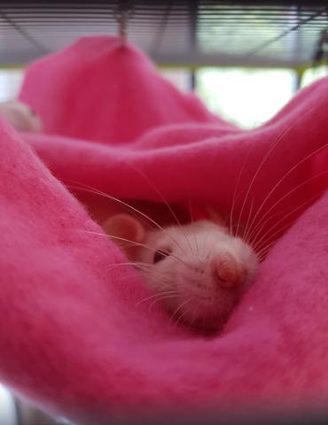 Sid Alias La Boulette, rongeur Rat