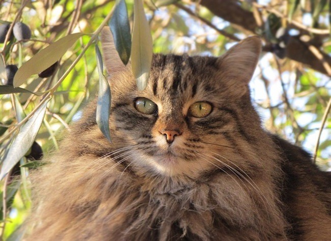 Sidonie, chat Maine Coon
