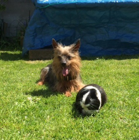 Uggy, chien Silky Terrier