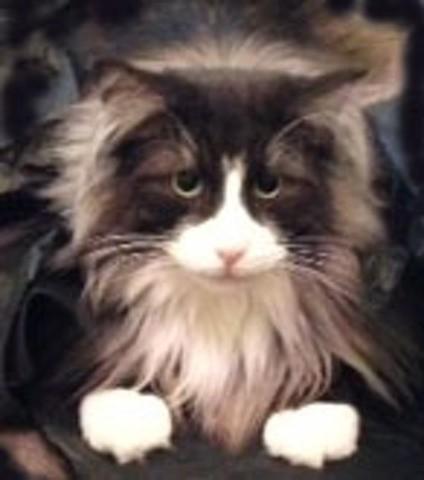 Silvestre, chat Norvégien