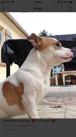 Simba, chien Jack Russell Terrier