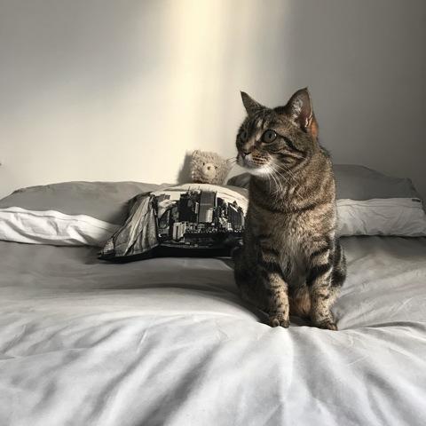 Smoothie, chat Européen