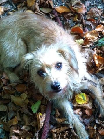 Jeanne, chien Smous des Pays-Bas