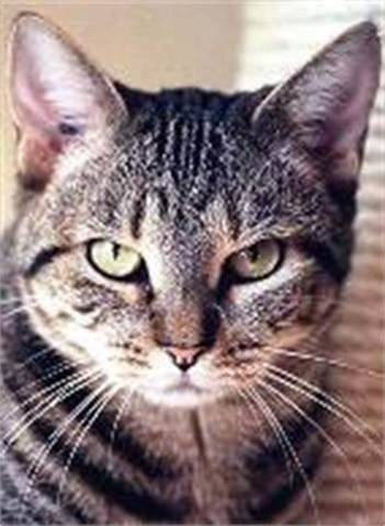 Snick, American Wirehair