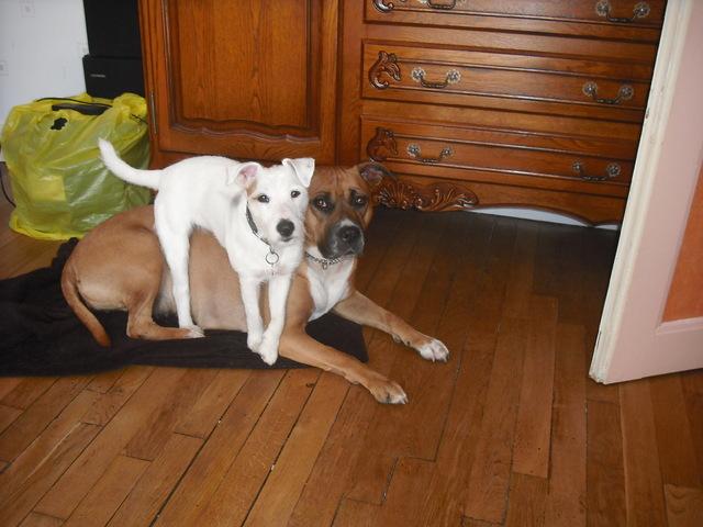 Snoop, chien Jack Russell Terrier