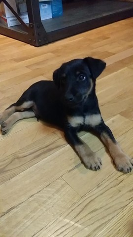 Snoopy, chien Jagdterrier
