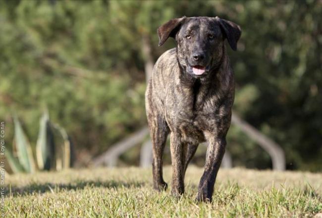 Snoupi, chien Cão de Castro Laboreiro