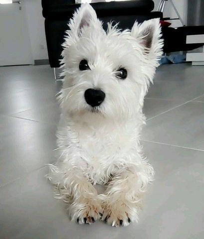 Snow, chien West Highland White Terrier