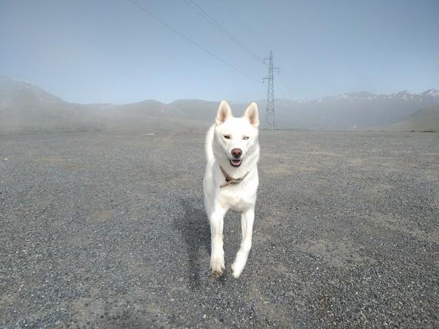 Snowty, chien Husky sibérien