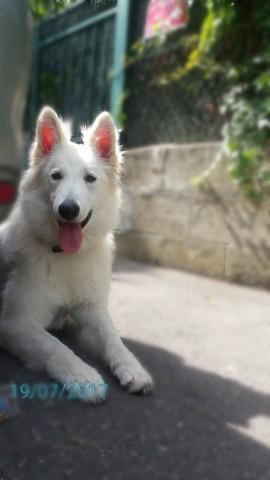 Snowy, chien Berger blanc suisse