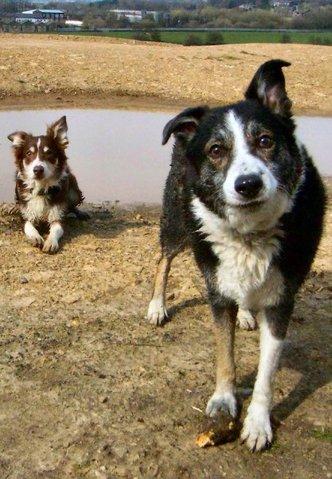 Sokette, chien Border Collie