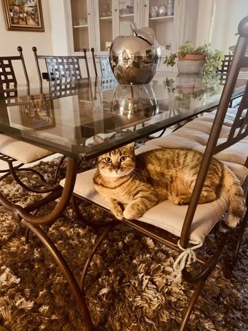 Minouche, chat Sokoke
