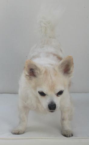 Soleil, chien Chihuahua