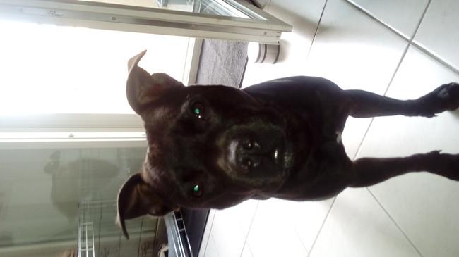 Sookie, chien Staffordshire Bull Terrier