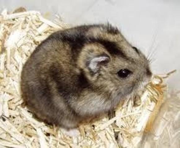 Speedy, rongeur Hamster