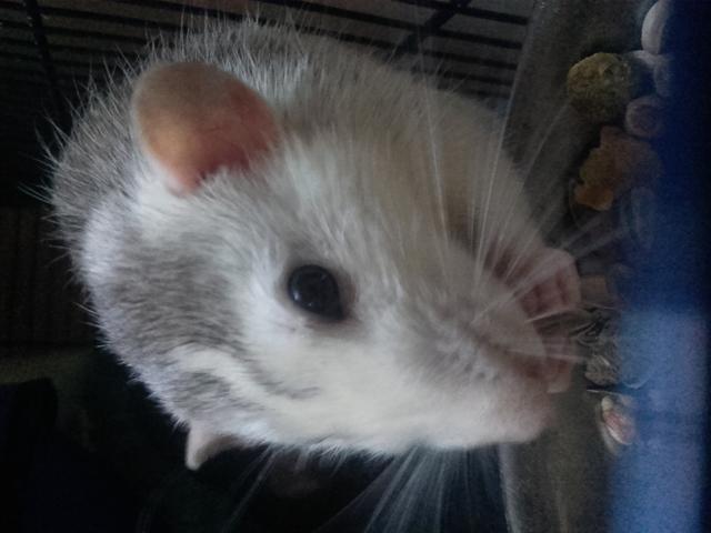 Spiky, rongeur Rat