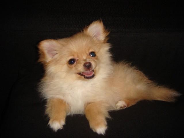 Hinka, chien Spitz allemand