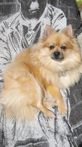Bibinours, chien Spitz allemand