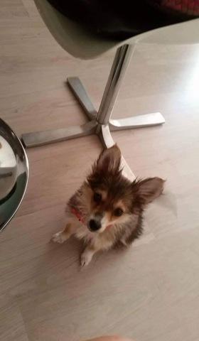 Mila, chiot Spitz allemand