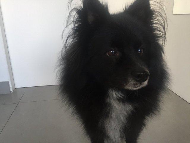 Fritz, chien Spitz allemand