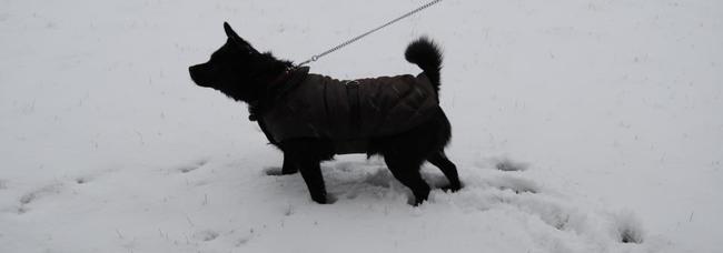 Emmy, chien Spitz de Norbotten