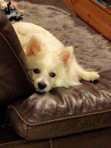 Olko, chien Spitz japonais