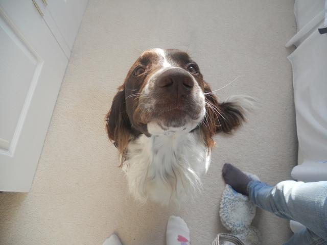Mendiant, chien Springer anglais