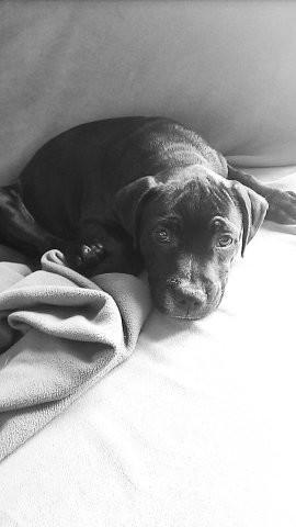Nelson, chiot Staffordshire Bull Terrier