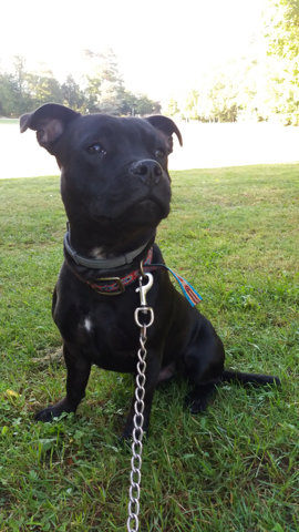Shadow, chiot Staffordshire Bull Terrier