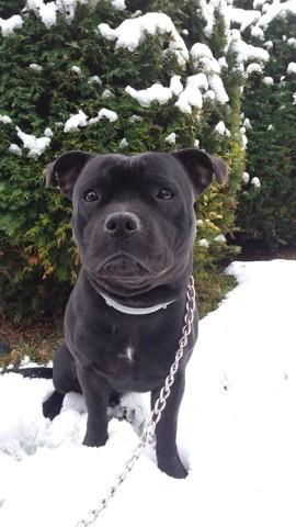 Shadow, chien Staffordshire Bull Terrier