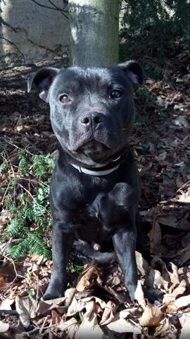 Moonlight Shadow, chien Staffordshire Bull Terrier