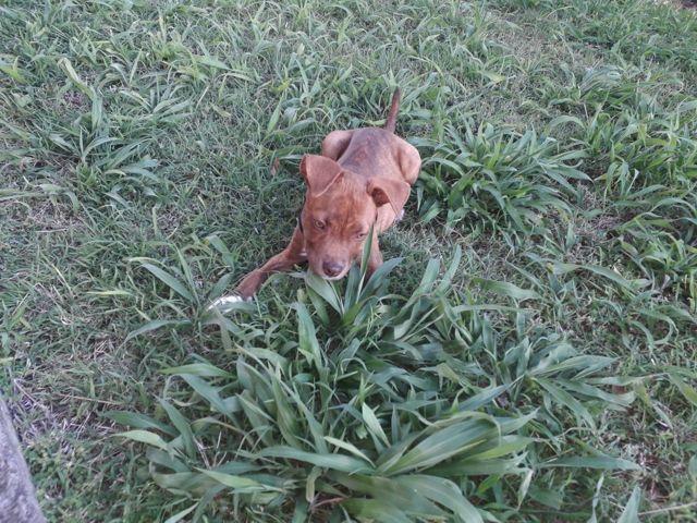 Hayana, chiot Staffordshire Bull Terrier