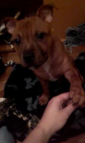 Nahiko Nuts Rocket, chiot Staffordshire Bull Terrier