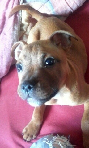 Nahiko Nuts Rocket, chiot Staffordshire Bull Terrier