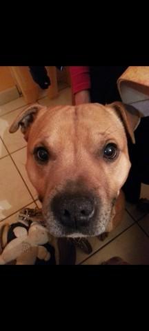 Fracas Qui Est Mort A Trois Ans, chien Staffordshire Bull Terrier
