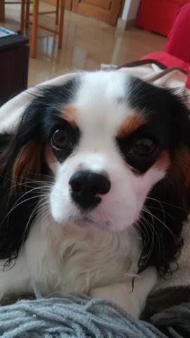 Stella, chien King Charles Spaniel