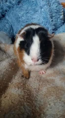Stella, rongeur Cochon d'Inde