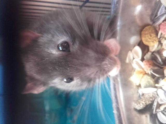 Styx, rongeur Rat