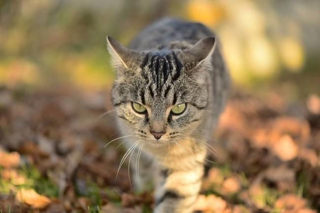 Suzette, chat Gouttière