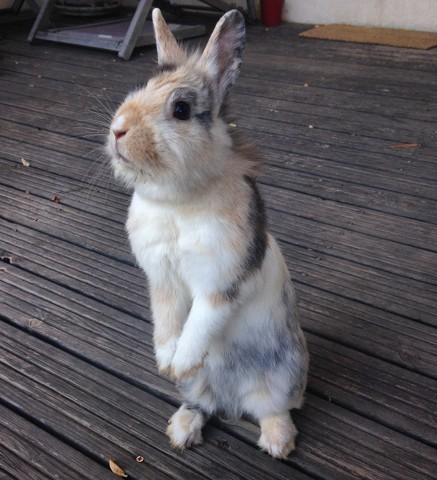 Sweety, rongeur Lapin