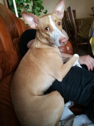 Sydney, chien Podenco portugais