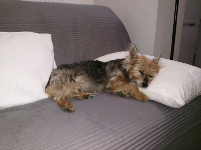Sylia, chien Yorkshire Terrier