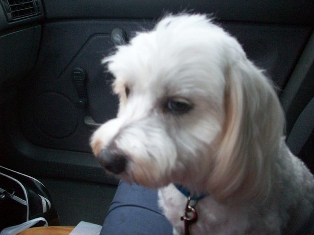 Syrius, chien Bichon maltais
