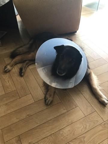 Tango, chien Berger belge