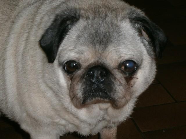 Tarmine, chien Carlin