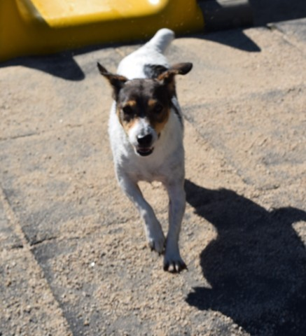Tatou, chien Jack Russell Terrier