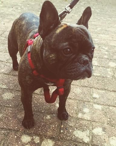 Tayson, chien Bouledogue français